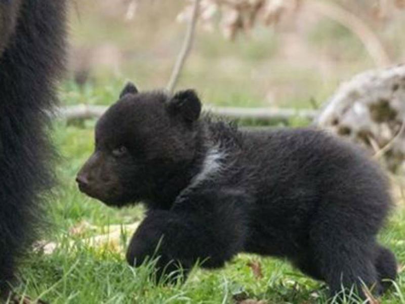 Zoo na Suíça: uma das crias do urso-pardo Misha (Reprodução Facebook)