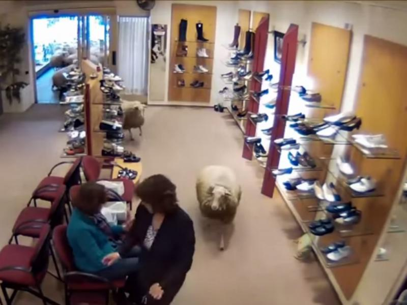 Ovelhas «invadem» sapataria (Foto Reprodução de YouTube)