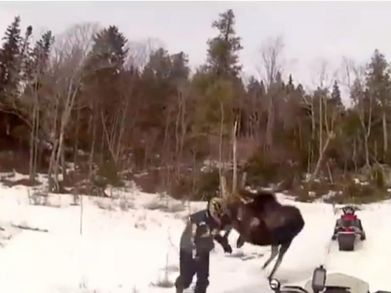 Alce atacou homem (Foto reprodução de YouTube)