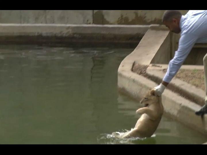 Zoo lança quatro crias de leão à água