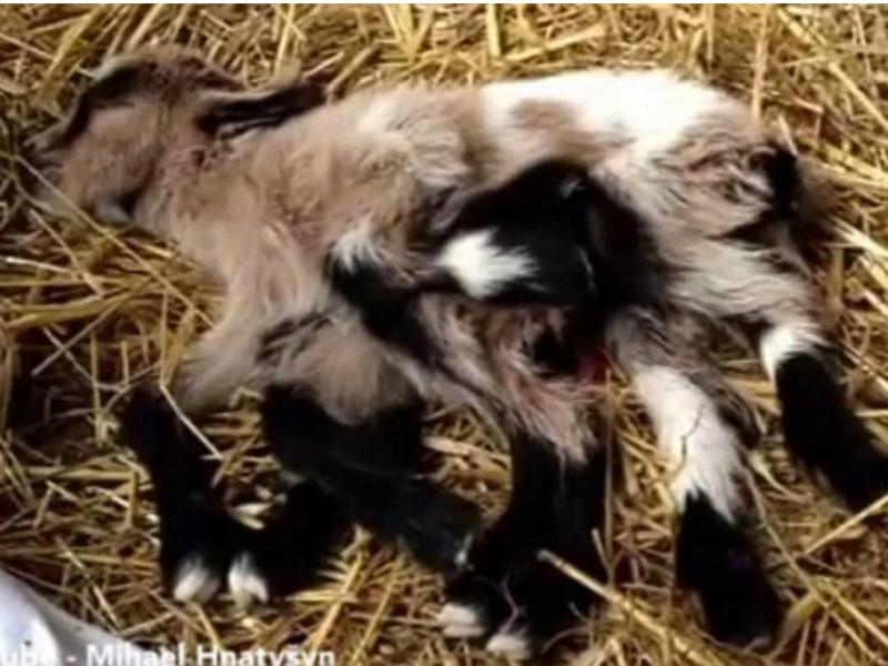 Octogoat, a cabra com oito pernas