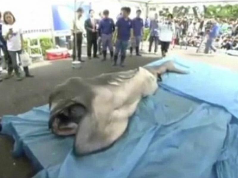 Tubarão-boca-grande capturado no Japão