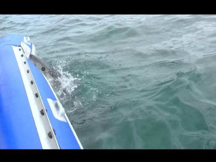 Tubarão branco ataca barco insuflável