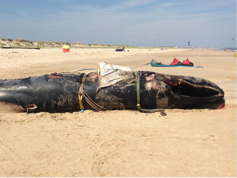 Baleia dá à costa em Tavira [Eu vi]