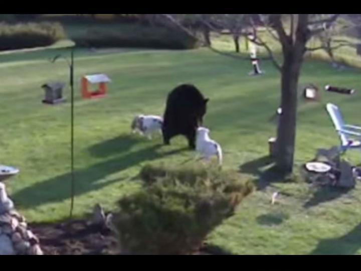 Cães sem medo enfrentam urso