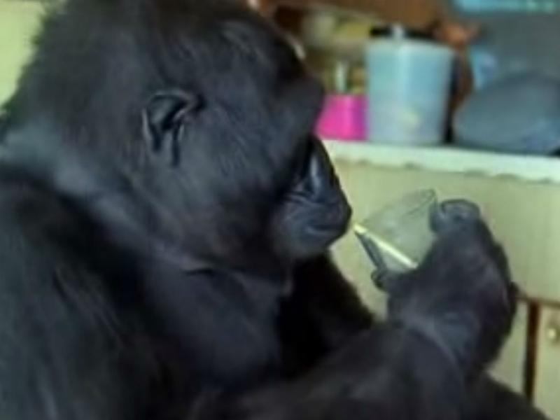 Gorila «Koko»