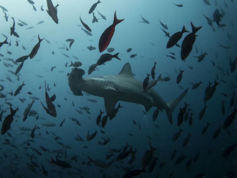 Galápagos: tubarão-martelo (REUTERS/Jorge Silva)