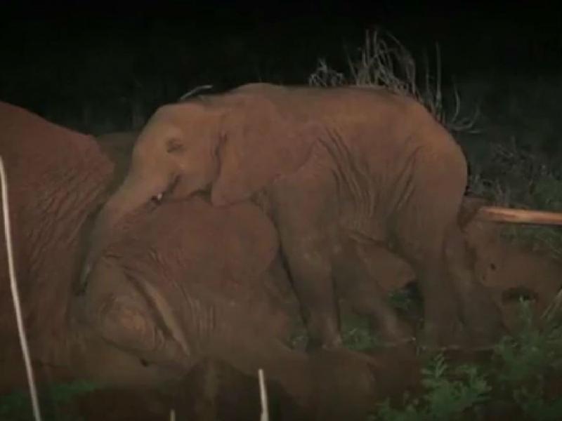 Elefante órfão recusa abandonar cadáver da mãe (Reprodução YouTube)
