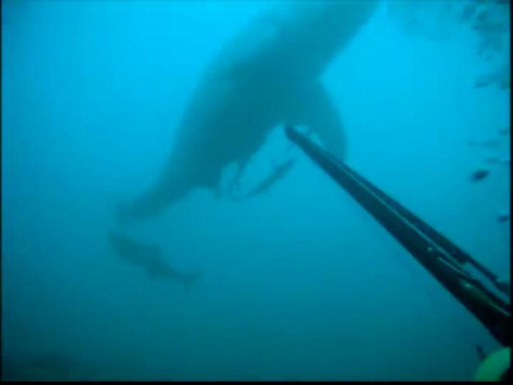 Mergulhador filma encontro «imediato» com Tubarão Branco