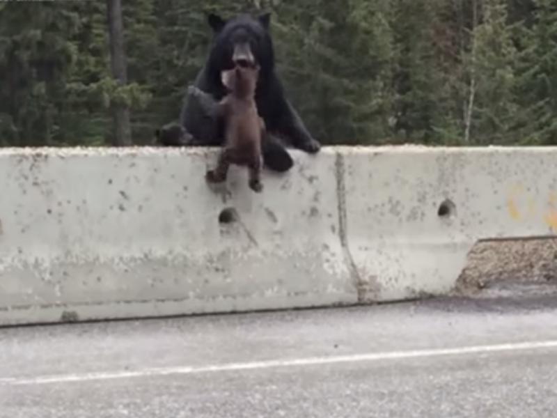 Ursa salva cria de ser atropelada (Reprodução / Youtube/ Greg Johnson)