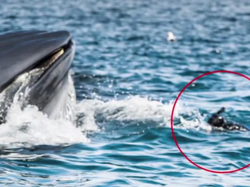 Baleia quase engole mergulhador (Reprodução / Youtube/ BarcroftTV)