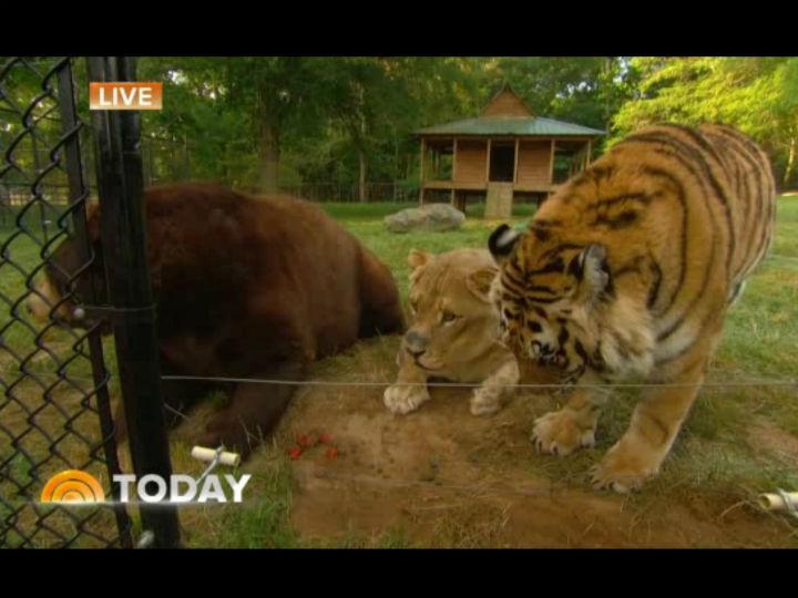 Leão, tigre e urso, os «amigos improváveis»