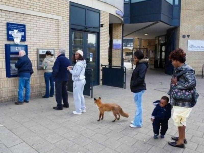 Raposa na fila de multibanco (Foto: Twitter)