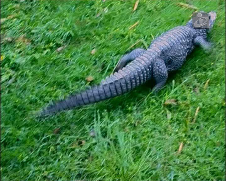 Zoo de Lagos está a tentar salvar o crocodilo anão