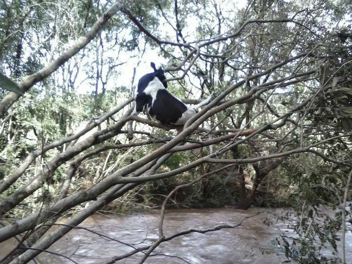 Vaca presa em árvore depois de arrastada por corrente (foto Portal Quedas)