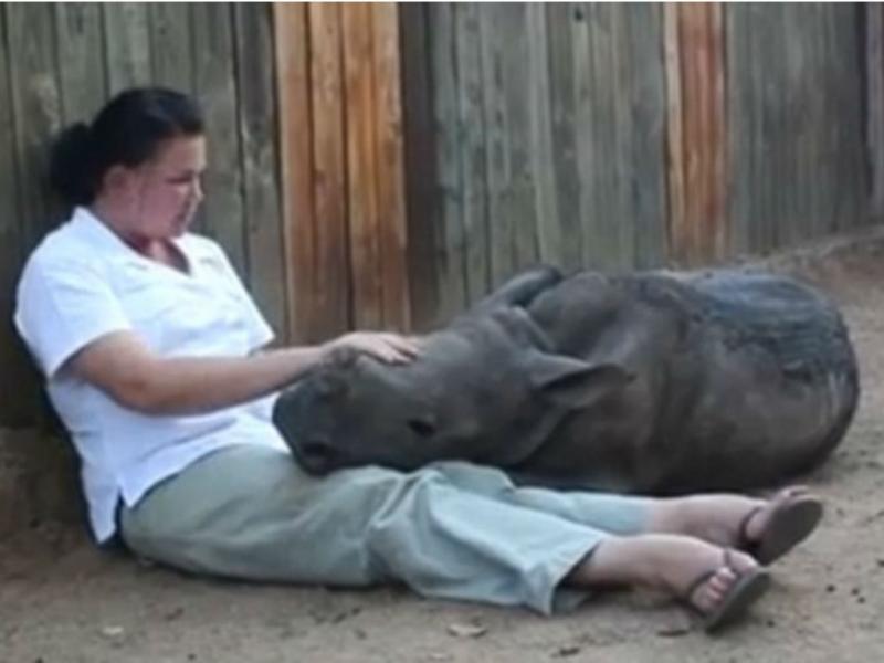 Bebé rinoceronte aconchega-se no colo dos tratadores