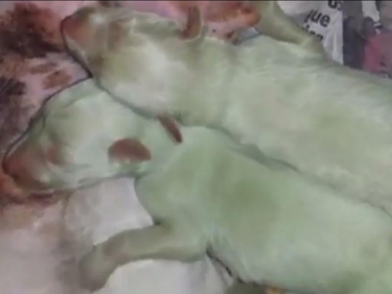 Dois cães «verdes» nascem em Espanha (Reprodução/Youtube/OCAKp2)