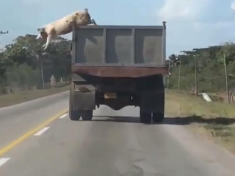 Este porco não queria ser bacon (Reprodução/Youtube/Alek M)
