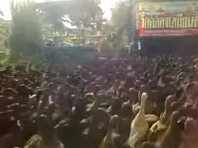 Centenas de patos invadem estrada da Tailândia (Reprodução / Youtube/ wanwan)