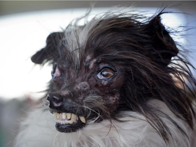 Peanut foi eleito o cão mais feio do mundo (EPA/PETER DASILVA)