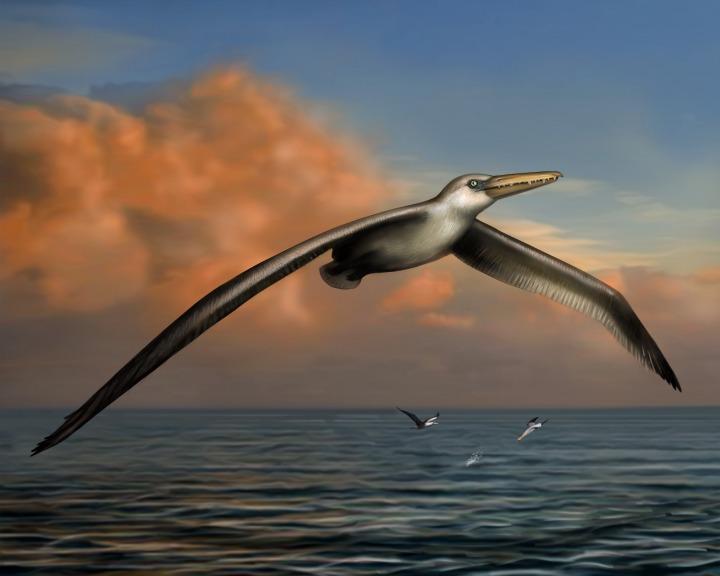O «Pelagornis sandersi» terá existido há 25 milhões de anos