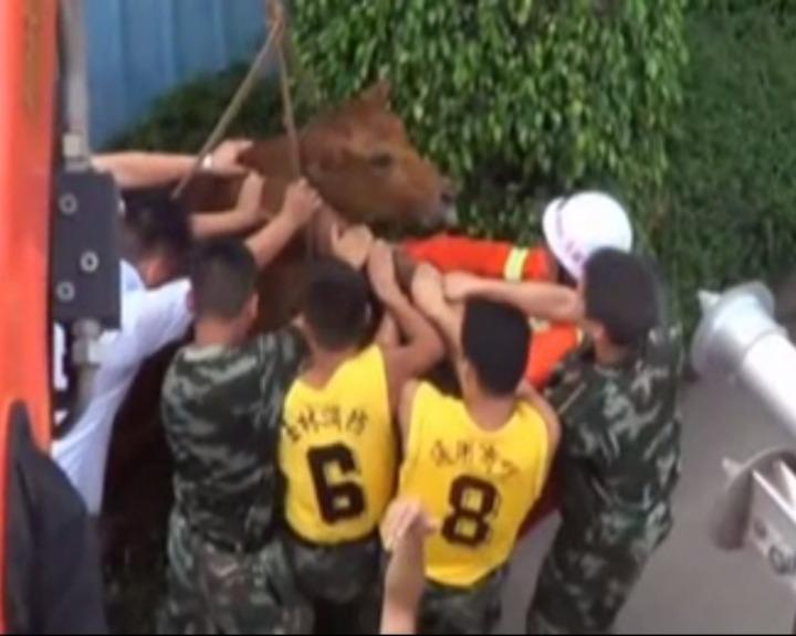 Vídeo mostra vaca a ser resgata de um buraco de esgoto (YouTube)