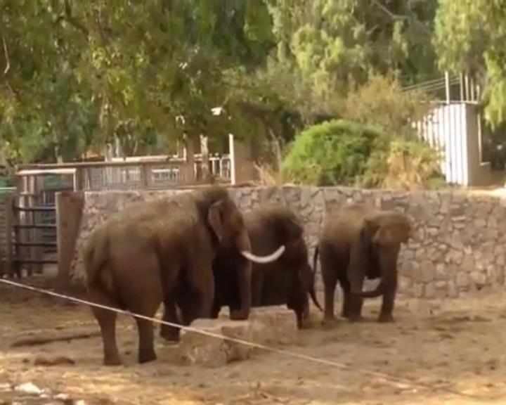 Elefantes só voltam à rotina habitual depois de as sirenes de alerta terem parado (YouTube)