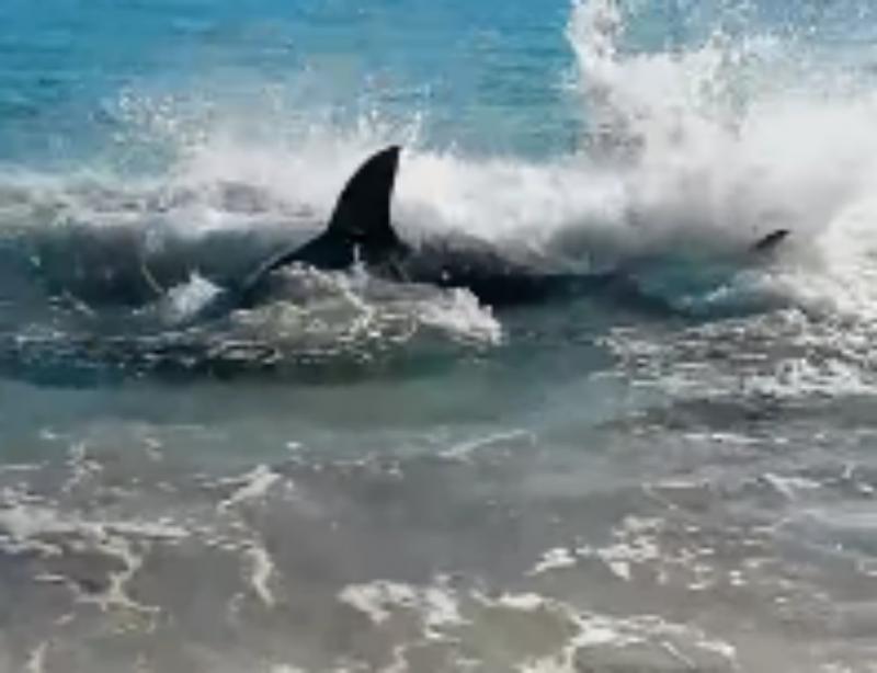 Tubarão fica encalhado nas margens (Reprodução Youtube)
