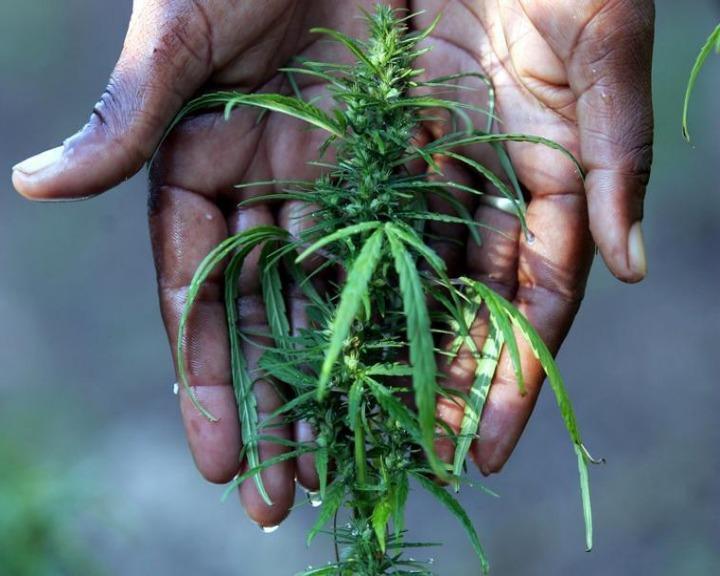 Tribunal de Colónia autoriza doentes a cultivarem cannabis em casa (Reuters)