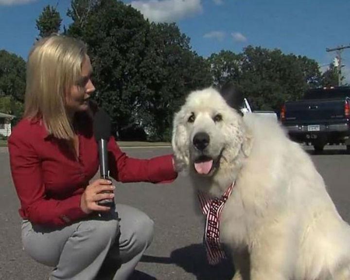 Duke, um cão de sete anos, venceu as eleições numa pequena cidade norte-americana (Reprodução: YouTube)