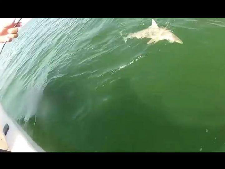 Já viu um peixe comer um tubarão? (Youtube)