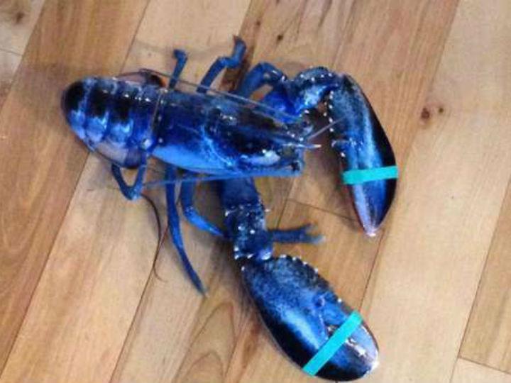 Lagosta azul capturada nos EUA
