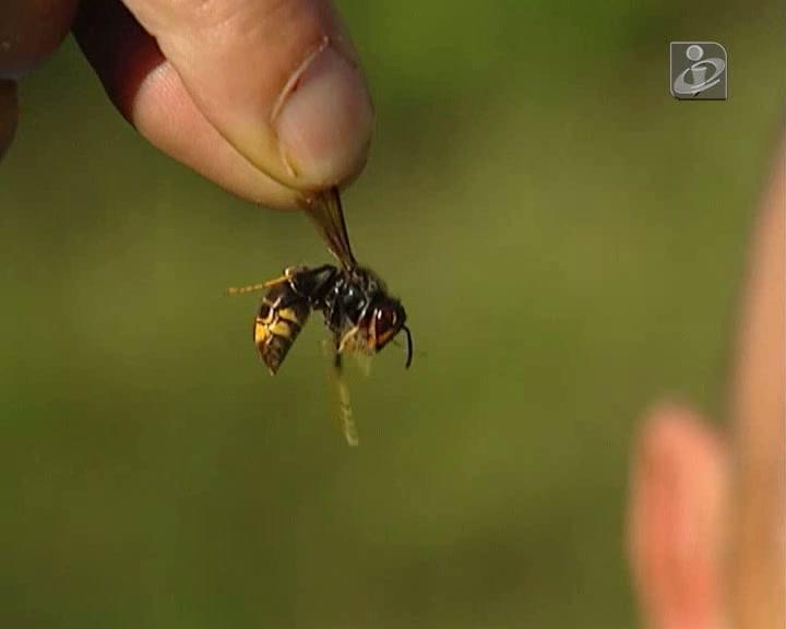 Ninho de vespas asiáticas no centro de Braga