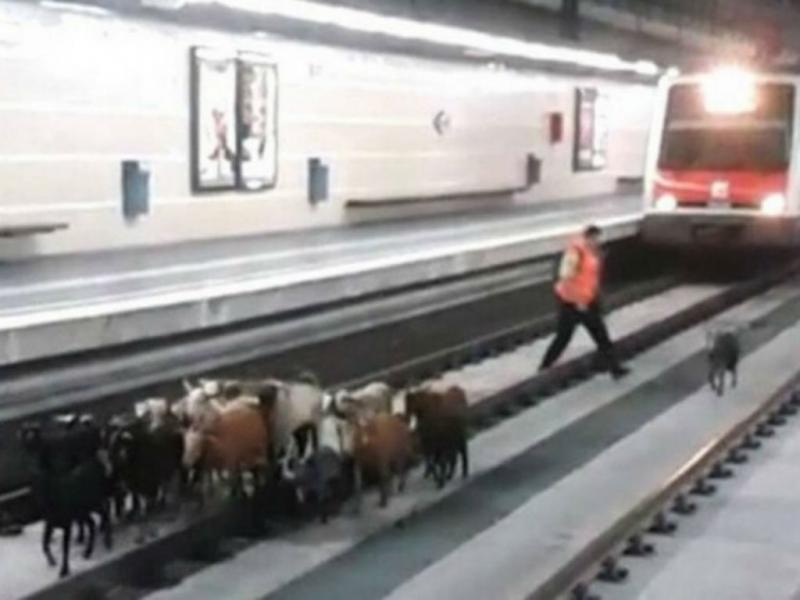 Rebanho de cabras invade estação de comboios (Reprodução Instagram)