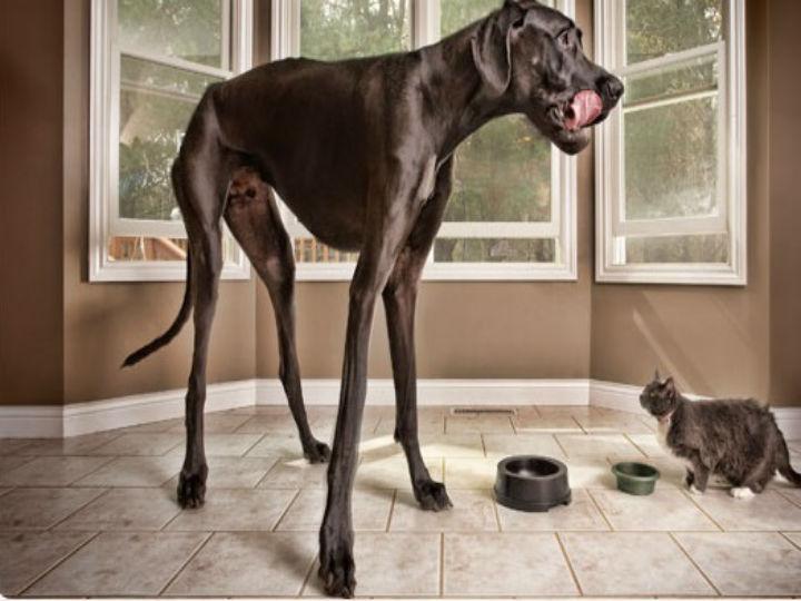O cão mais alto do mundo morreu a semana passada (guinnessworldrecords.com)
