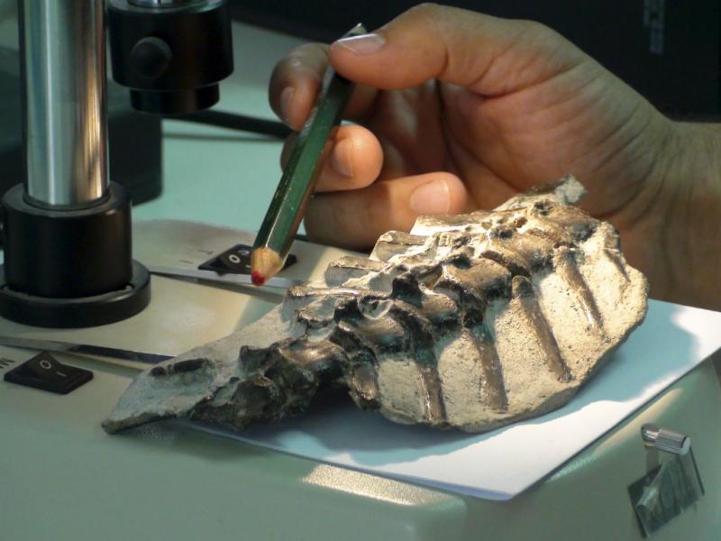 Nova espécie de dinossauro descoberta em Portugal (FLÁVIA CALÇADA/LUSA)