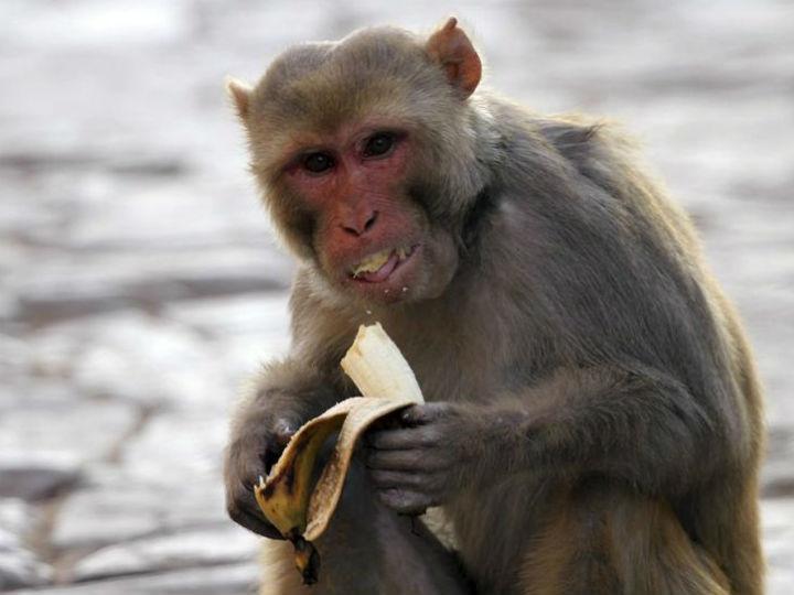Morte de macaco levou a que 200 pessoas rapassem o cabelo na Índia (Reuters)