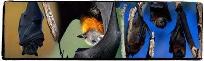 Zoolândia - morcegos