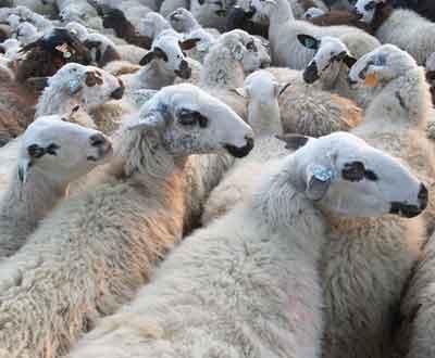 Ovelhas (Arquivo)
