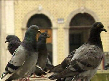 Pombos-correio imunes à gripe das aves