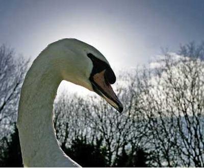 Cisne [arquivo]