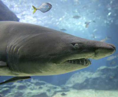 Tubarão [arquivo]