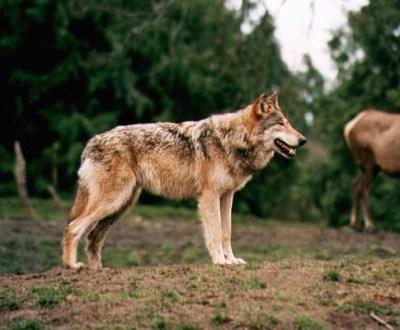 Lobos ameaçam aldeias [arquivo]