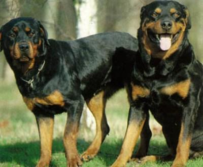 Imagem de um Rottweiler [arquivo]