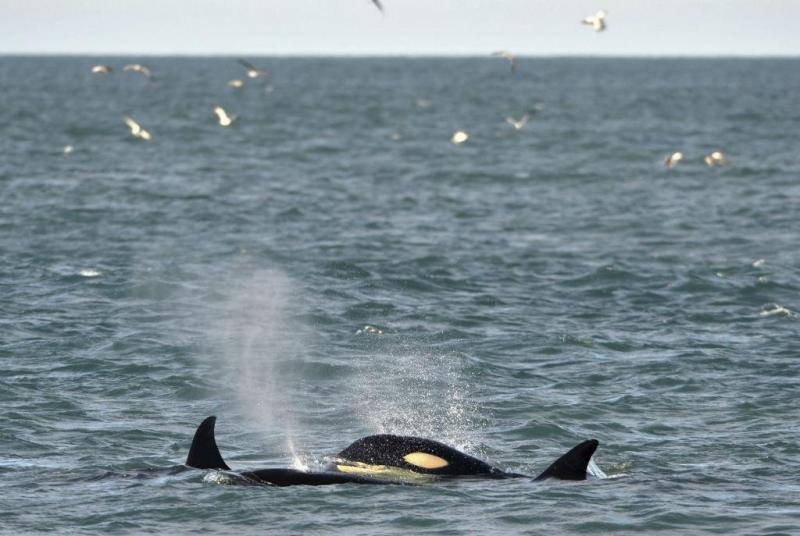 Orcas (Reuters)