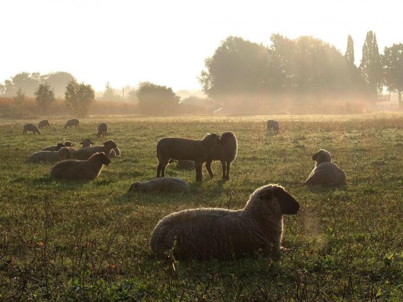 Ovelhas (LUSA/EPA)