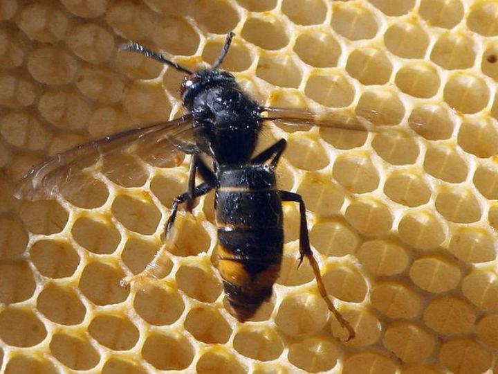 A vespa asiática chegou à Europa em 2005