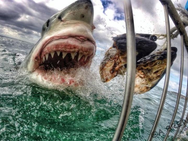 Tubarão (imagem Amanda Brewer)