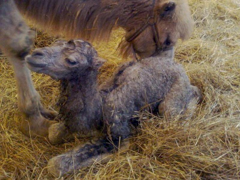 Camelos (LUSA/EPA)