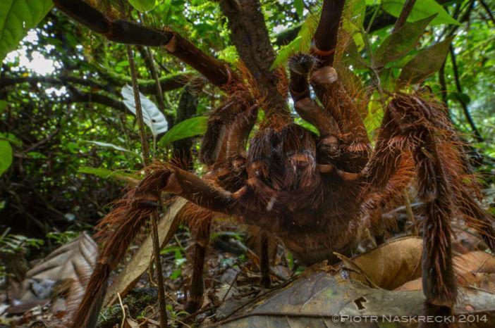 Aranha-golias (http://thesmallermajority.com/)